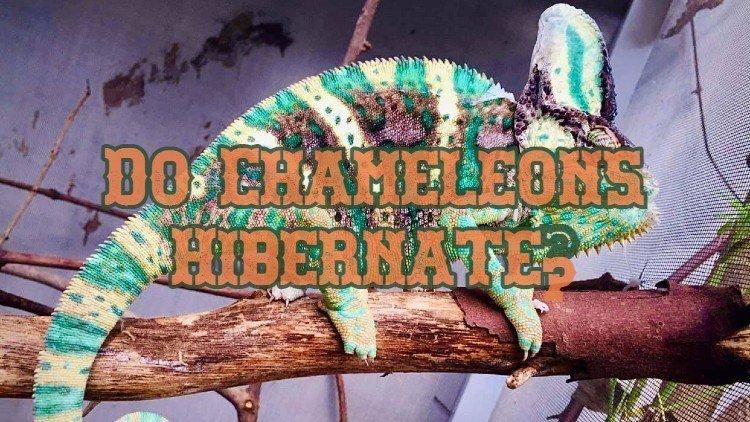 Chameleon Hibernation