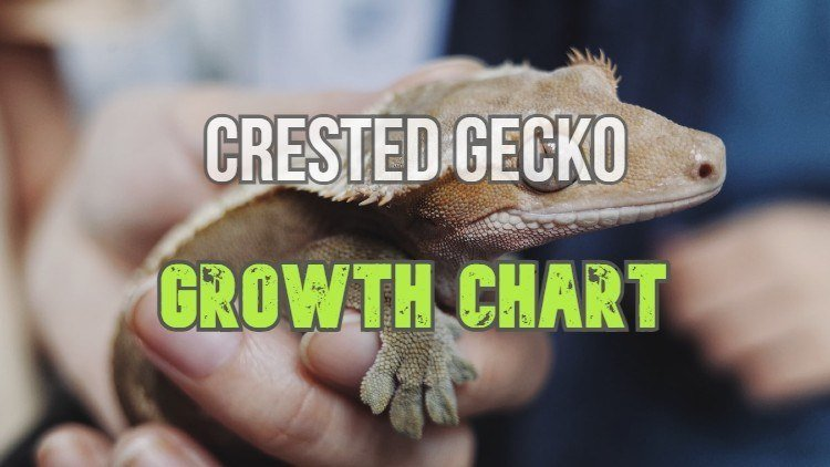 Crested Gecko Growth Chart Amd Development Stages