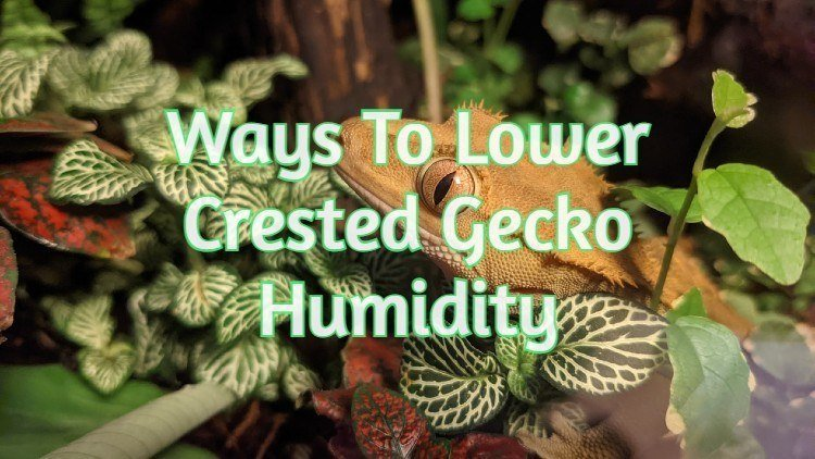 Crested Gecko Humidity Too High