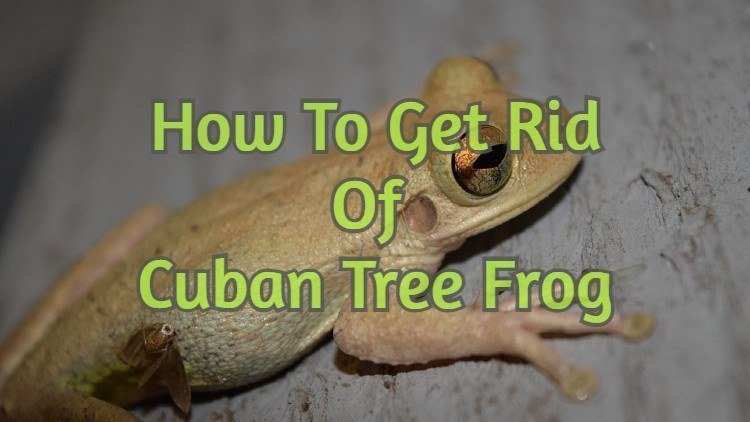 How to get rid of Cuban tree frogs