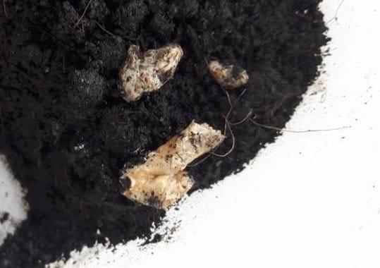 Pacman Frog Discolored Poop