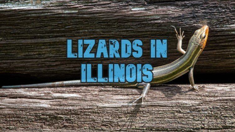 What lizards can be found in Illinois