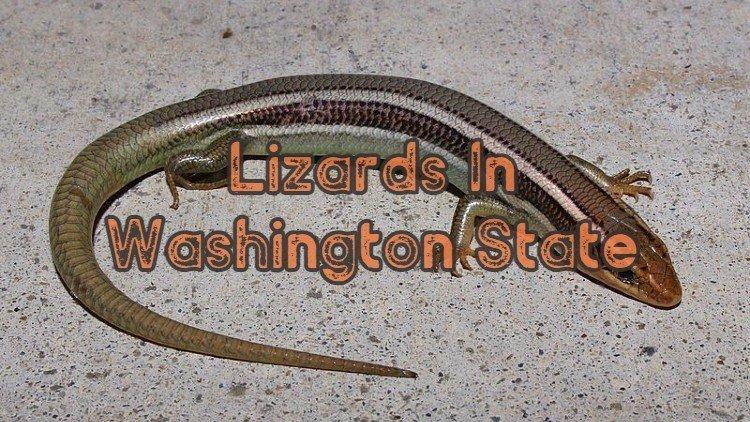 Lizards In Washington State