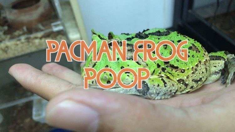 Pacman Frog Poop