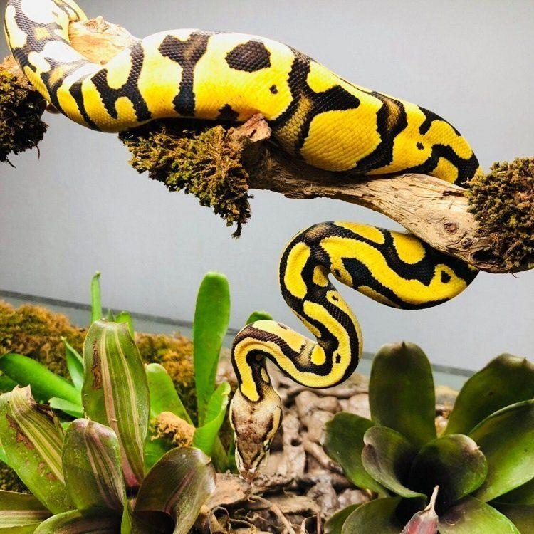 ball python climbing