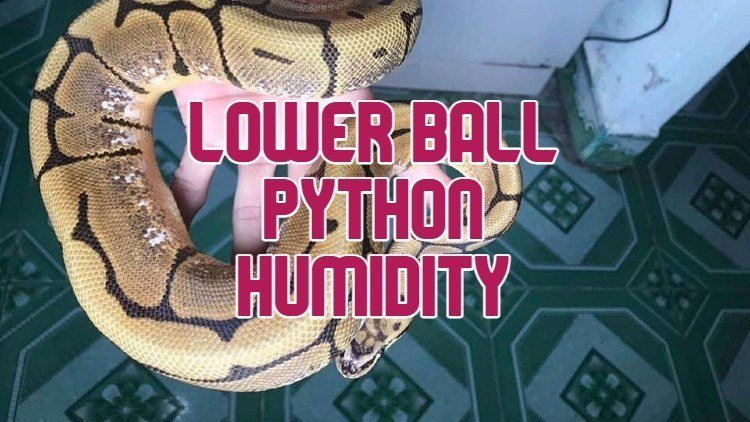 Ball Python Humidity Too High