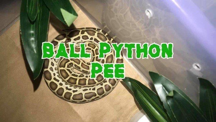 Ball Python Pee