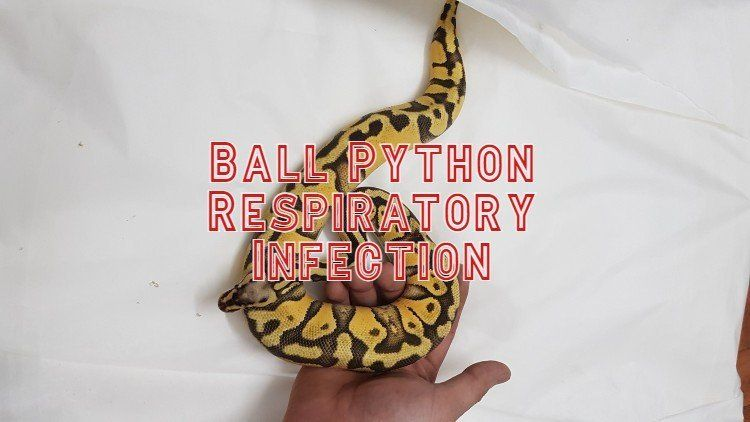 Ball Python Respiratory Infection