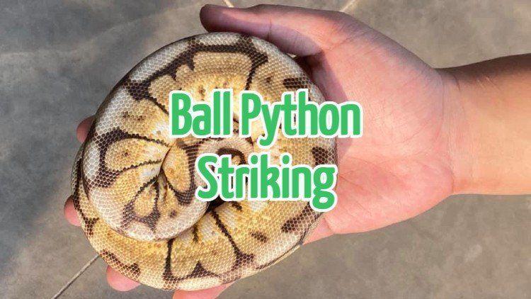 Ball Python Striking
