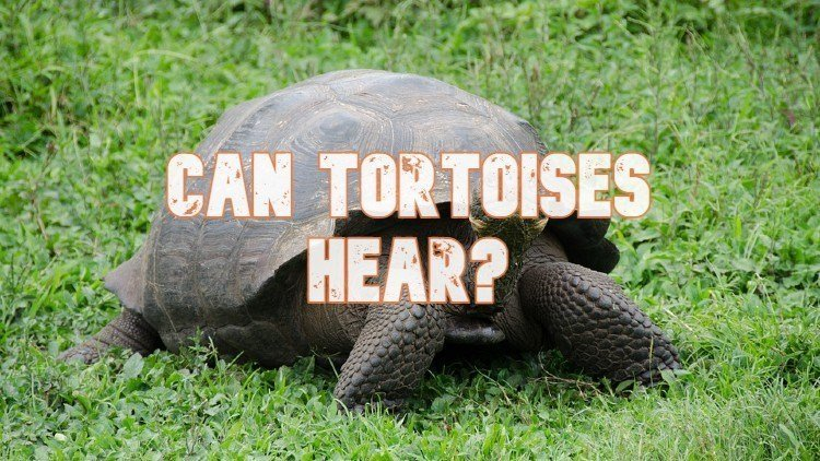 Can Tortoises Hear
