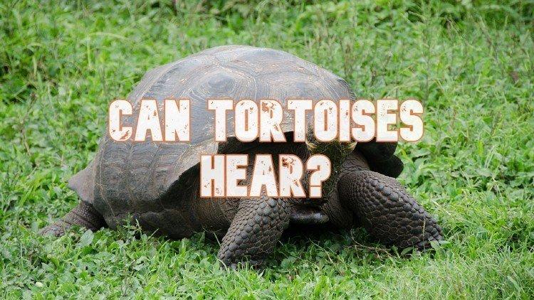 Can Tortoises Hear