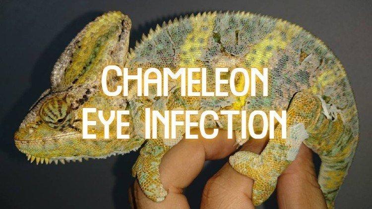 Chameleon Eye Infection