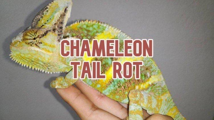Chameleon Tail Rot