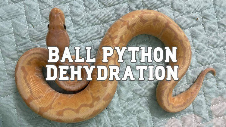 Dehydrated Ball Python