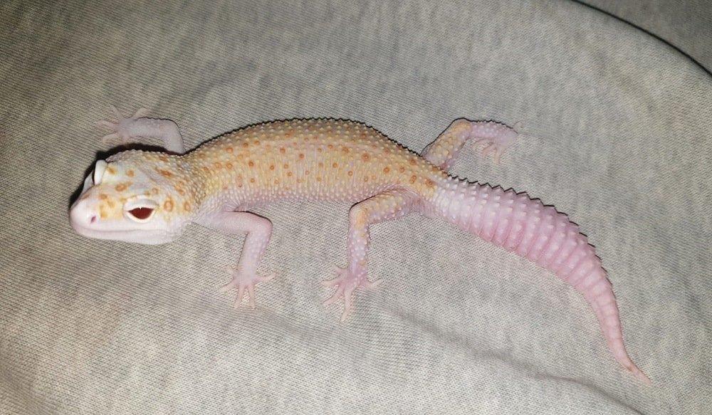 Enigma leopard gecko