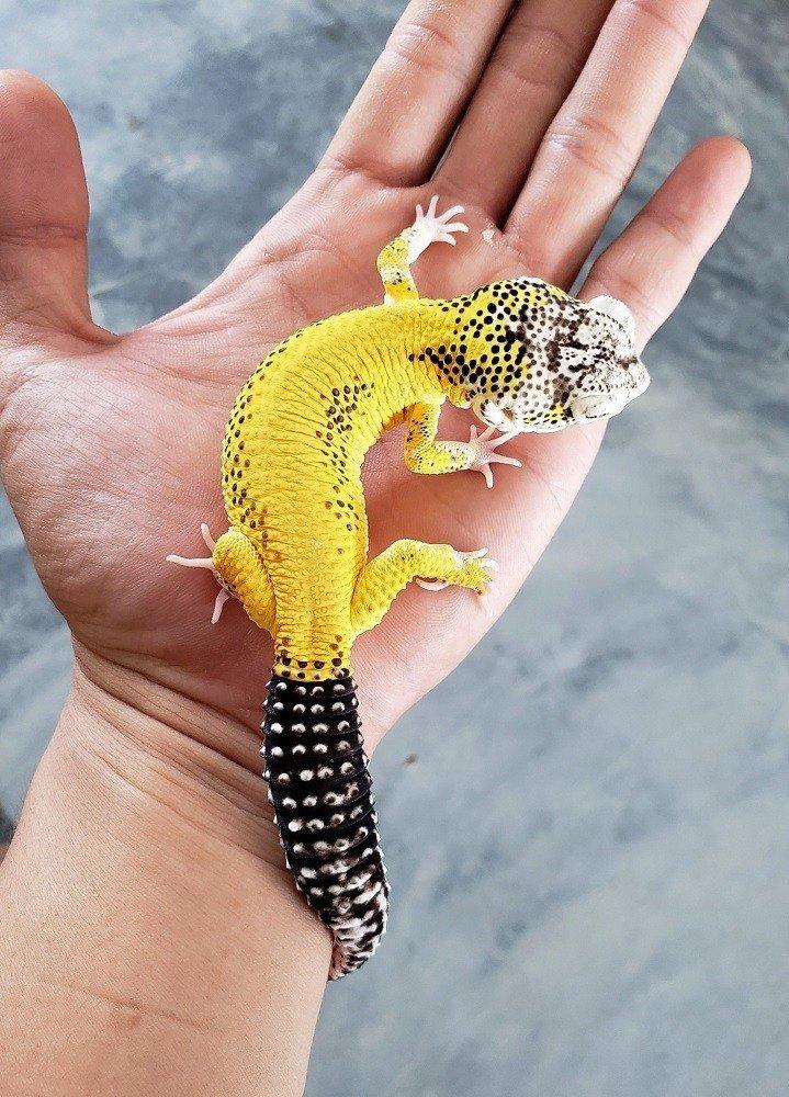 leomon frost leopard gecko