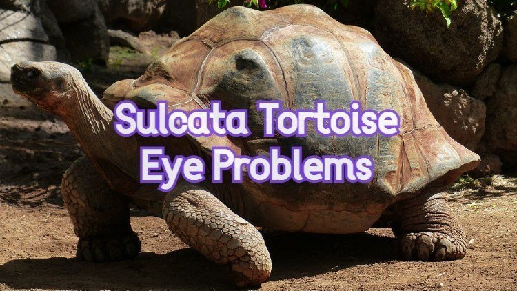 Common Sulcata Tortoise Eye Problems