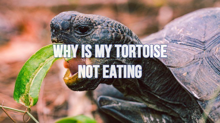 Why Is A Tortoise Not Eating