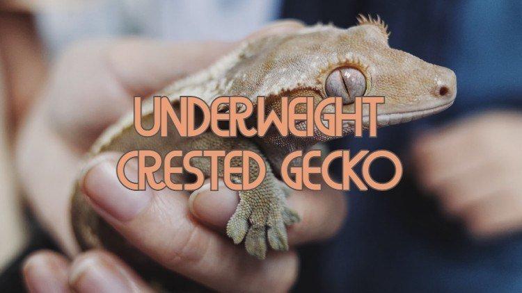 Skinny Crested Gecko