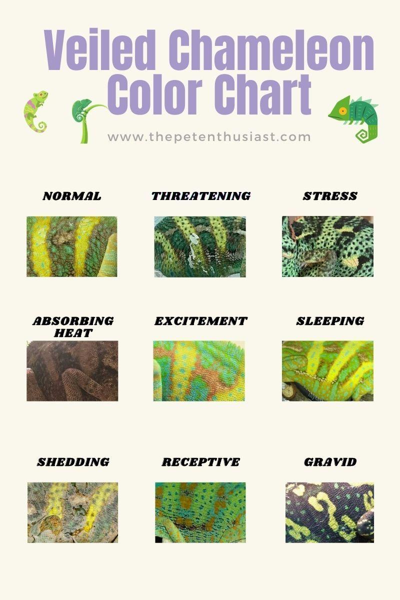 Veiled Chameleon Color Chart