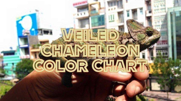 Veiled Chameleon Colors