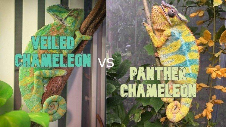 Veiled Chameleon vs Panther Chameleon