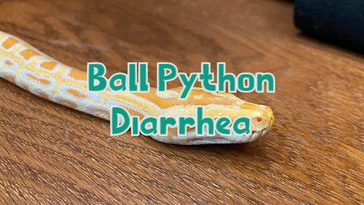 Ball Python Diarrhea