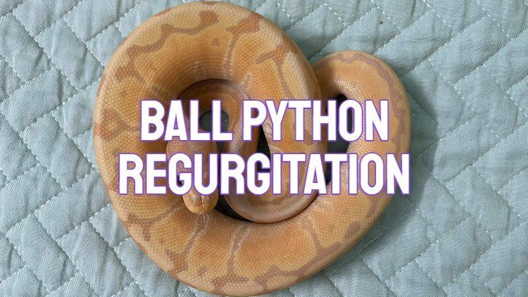 Ball Python Regurgitation And Vomit