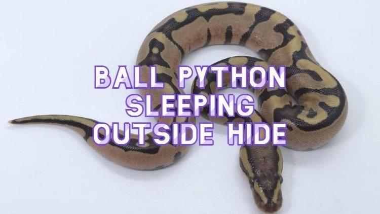 Ball Python Sleeping Outside Hide