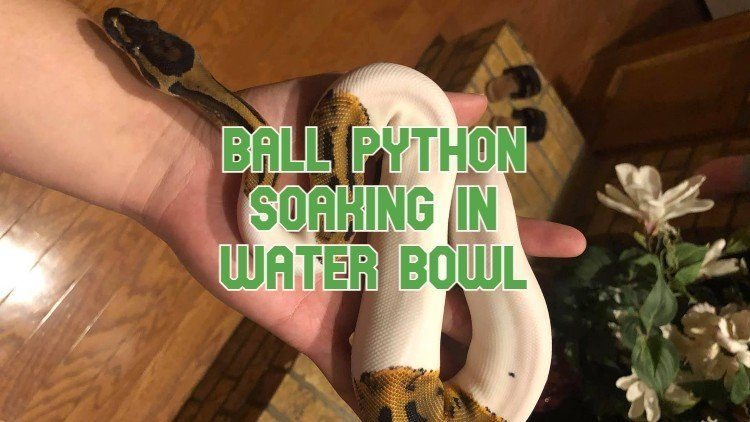 Ball Python Soaking In Water Bowl