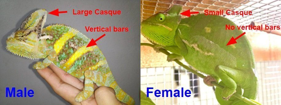 Chameleon colors in male and female