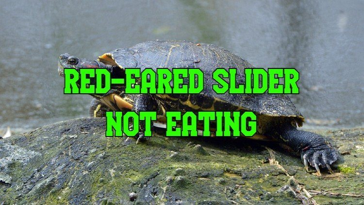 Red Eared Slider Not Eating