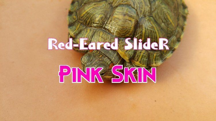 Red Eared Slider Pink Skin