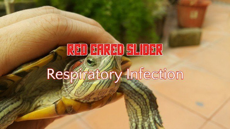 Red Eared Slider Respiratory Infection