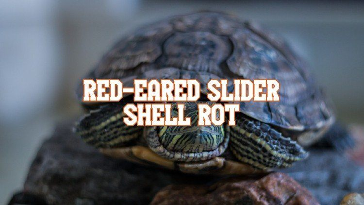 Red-Eared Slider Shell Rot