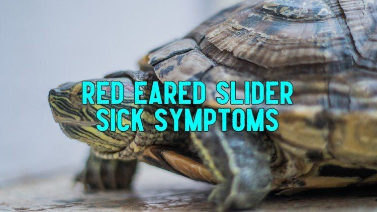 Red Eared Slider Sick