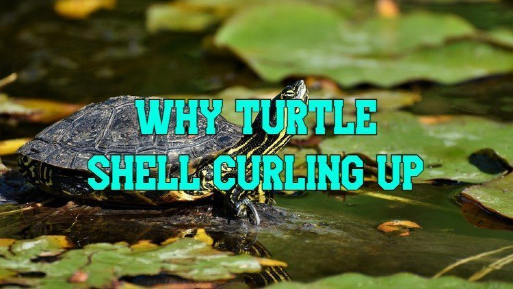 Turtle Shell Curling Up