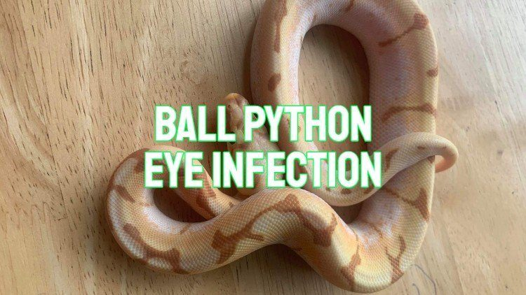ball python eye infection