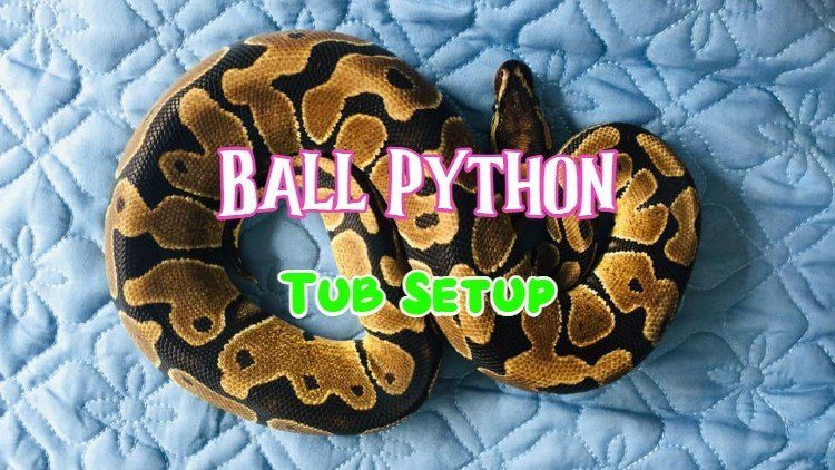 ball python tub setup