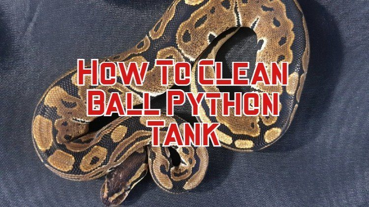 How To Clean Ball Python Tank