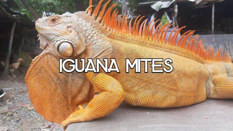 Iguana Mites