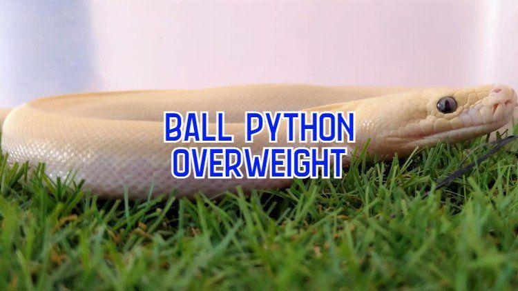 overweight ball python
