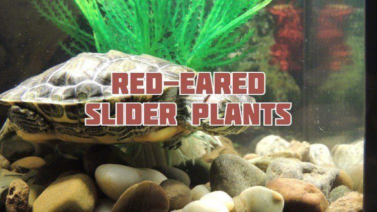 Red-Eared Slider Aquatic Plants