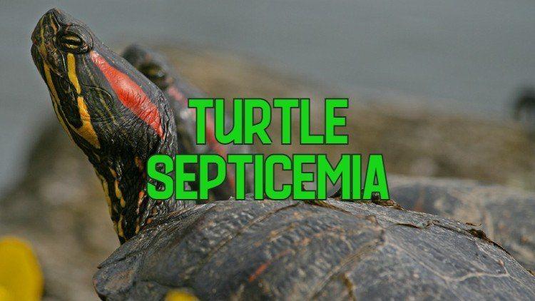 turtle septicemia