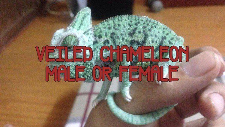 veiled chameleon male or female