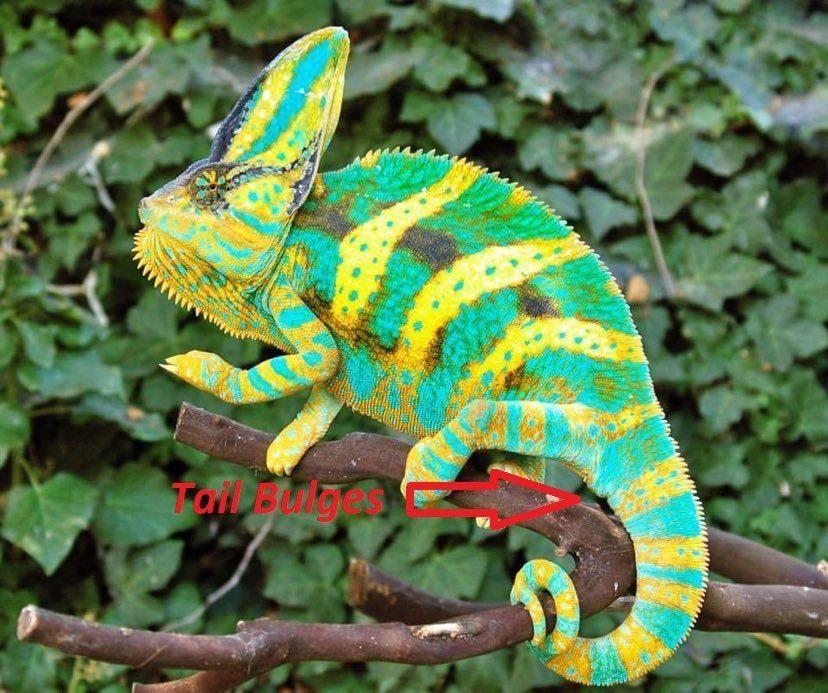 veiled chameleon tail bulge