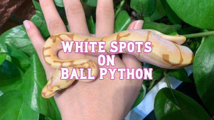 white spots on ball python