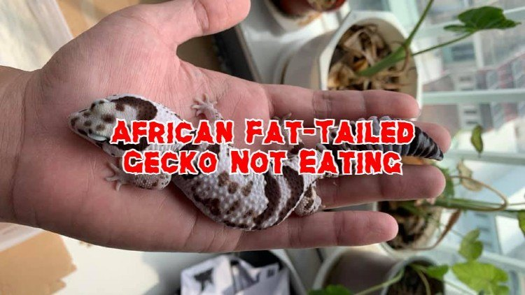 African fat-tailed gecko not eating