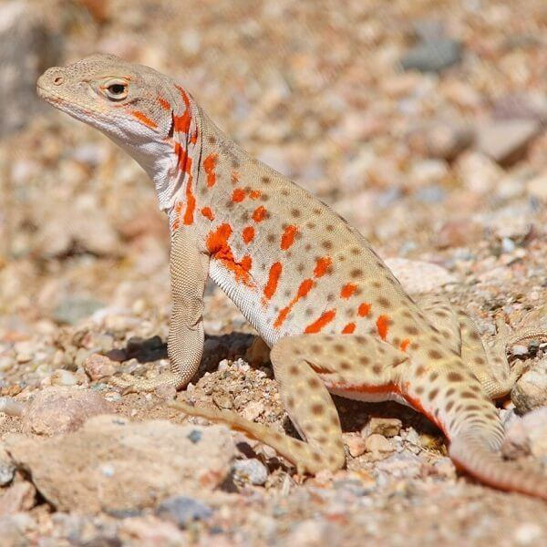 Long-nosed Leopard Lizard