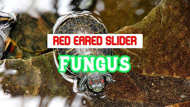 Red Eared Slider Fungal Infection